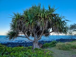 Bargara - Strange trees