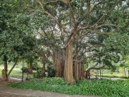 Very Large Fig Tree