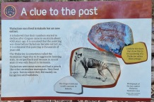 Tasmanian Tiger, what is it doing here