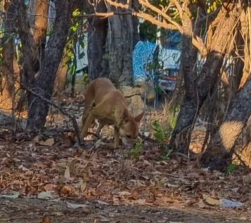Dingos wandering around