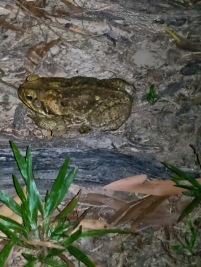 Big Frog, it froze under my torch